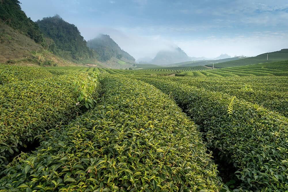 Green-Tea-Mkpa-Mmanụ-N'ogbe-Asia-ugbo
