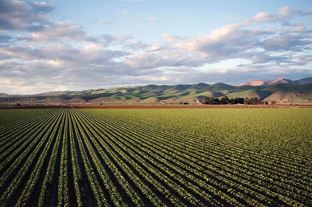 Peppermint-Essential-Oil-Wholesale-Washington-US-farm