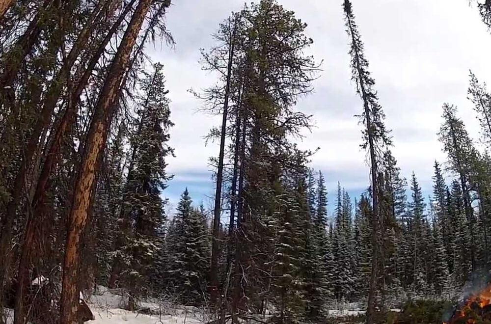 Pine-Essential-Oil-Wholesale-North-America-farm