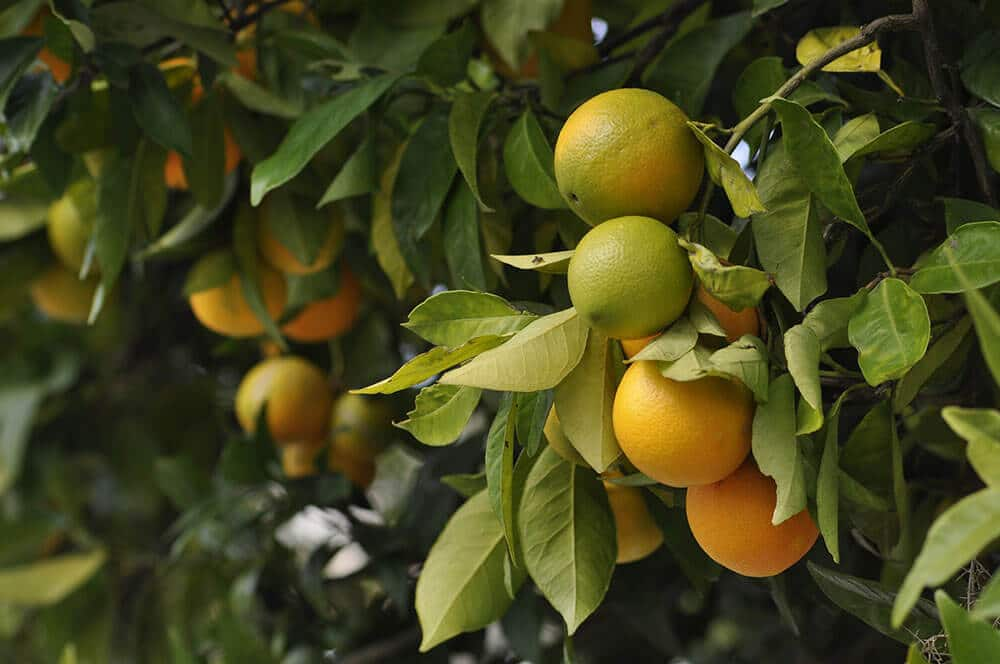 South-America-Citrus-fields-farm-Essential-oil-wholesale