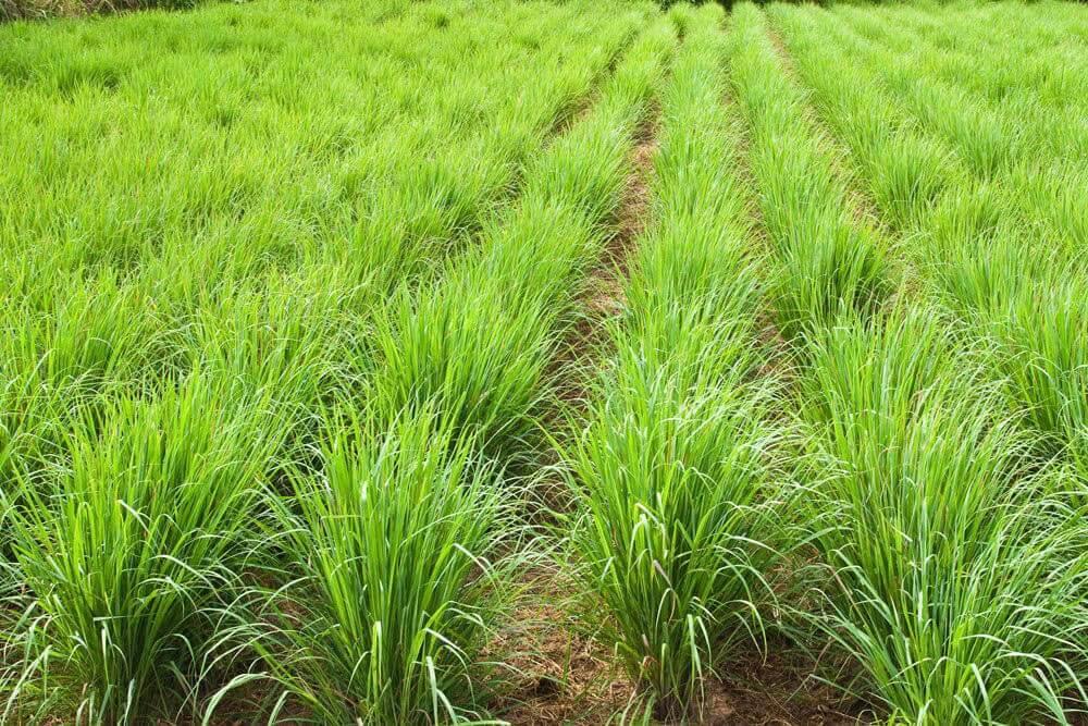 lemongrass-Mkpa-Mmanụ-Nkwa-Eshia