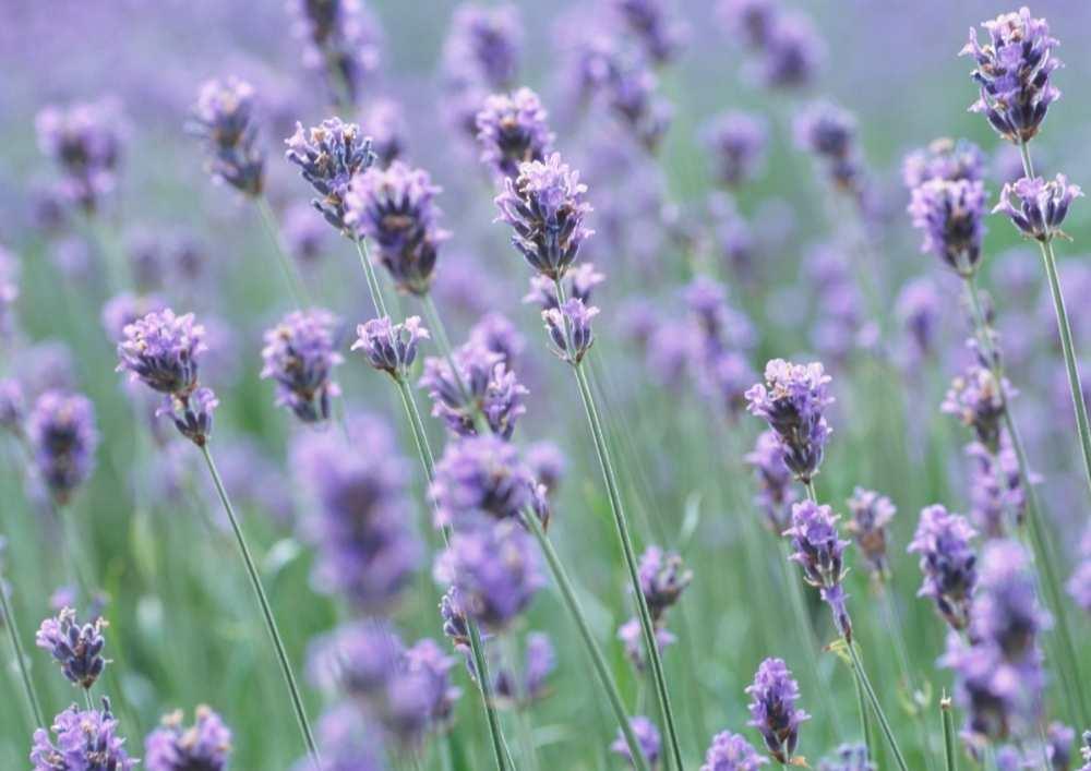 Lavender-essentail-oil