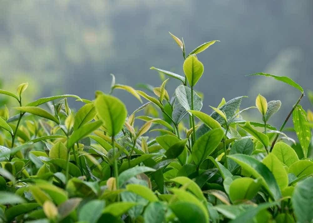 Tea-tree-essential-oil-for-blister