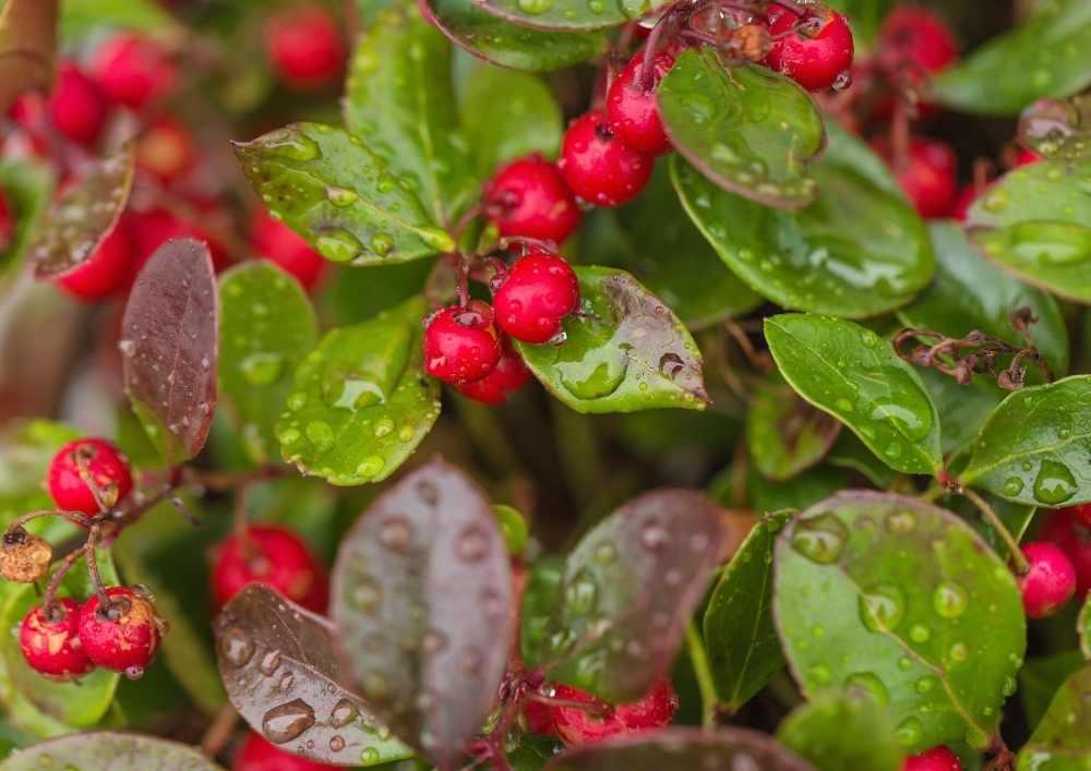 Wintergreen-essential-oil